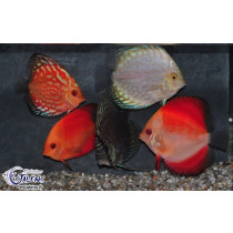 Discus Select. Assortis  6-7