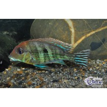 Geophagus sp. Tapajos Red Head  9-11