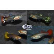 Guppy Fem. 4-5 Pack 100 (4 var. x 25)(sri)