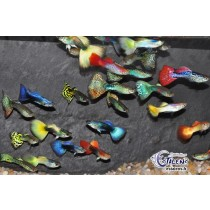 Guppy Male 3.5-4 Pack  25 (5X5 couleurs)(sri)