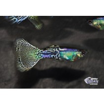 Guppy Green Metal Head Cobra 3.5-4 (sri)