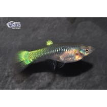 Guppy Fem. Metallic Ananas  3-4 (sri)