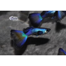 Guppy Full Blue Neon  3.5-4 (sri)