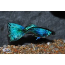 Guppy Full Green Neon  3.5-4 (sri)