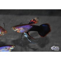 Guppy Platinum Purple Ribbon 3-3.5 (sri)