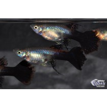 Guppy Platinum Purple Ribbon Fem. 3-4 (sri)