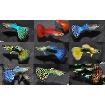 Guppy Male Select.3.5-4 Pack  25 (5X5 couleurs)