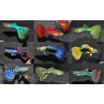 Guppy Male Select.3.5-4 Pack 100 (4 var. x 25)(isr)
