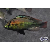 Haplochromis  aeneocolor 3-4 (Yellow Belly)