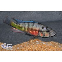 Haplochromis sp. Orange Rock Hunter 13-15(Estalens