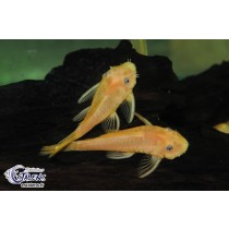 Ancistrus sp. Orange L144  2.5-3