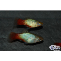 Platy Azur Queue Rouge  3-3.5