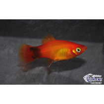 Platy Mickey Sunset  3-3.5
