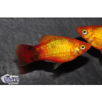Platy Mickey Sunset Métal  3-3.5