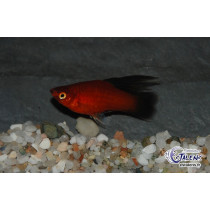 Platy Voile Wagtail Rouge  3.5-4