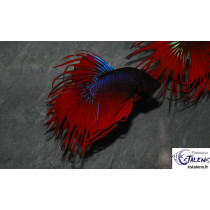 Betta Crown Tail Rouge  5-6