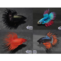 Betta Crown Tail Special Select. 5-6