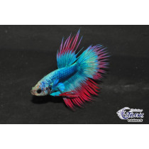 Betta Crown Tail Thai Flag 5-6