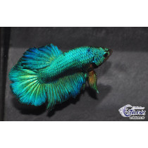 Betta HM Green Mask 5-6