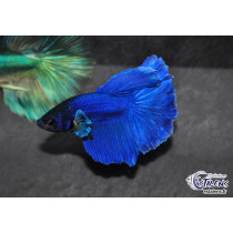 Betta HM Blue Mask 5-6