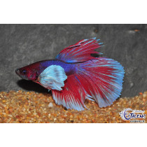 Betta HM Dumbo Select. 5-6