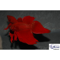 Betta splendens Rouge  4-5