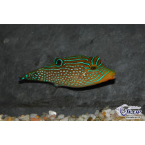 Canthigaster papua  7-9