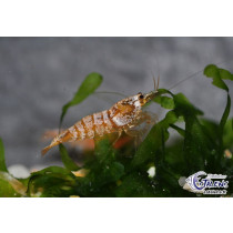 Caridina Golden Snow White  1.5-2