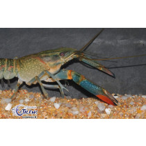 Cherax quadricarinatus Blue 5-7