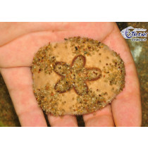 Clypeaster cf. humilis (Oursin sable)