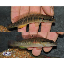 Crenicichla sp. Belly Crawler Rio Meta  9-11 Svg