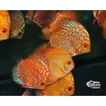 Discus Select.Assortis  8-10 (France)