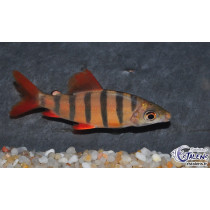 Distichodus sexfasciatus 7-9  (Orange/Noir) SUPER
