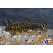 Erromyzon cf. sinensis Red Spots 3-4+