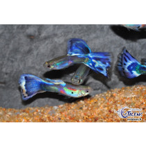 Guppy Calico Bleu  3-3.5 (sri)