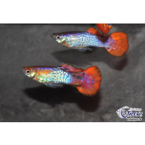Guppy Cobra Rouge  3-3.5 (sri)