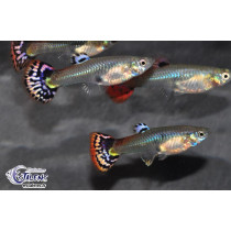 Guppy Fem. Cobra Rouge  3-4 (sri)