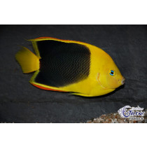 Holacanthus tricolor  9-11