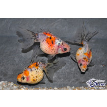 Pearlscale Calico  5-6