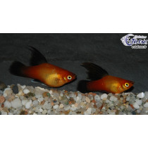 Platy Voile Sunset Wagtail  3-3.5