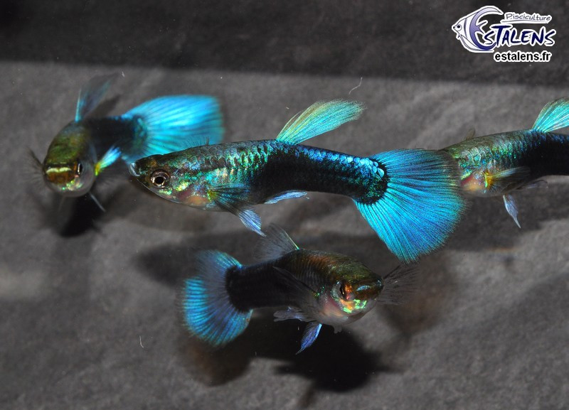 Guppy Neon Bleu  4-5 (sri)