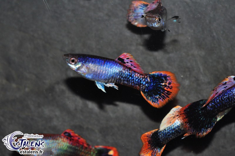Guppy Platinium Purple 3-3.5 (isr)