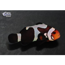 Amphiprion ocellaris Black Gladiator  4-5