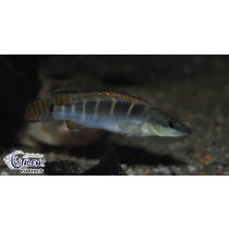 Crenicichla compressiceps 4-6 SUPER