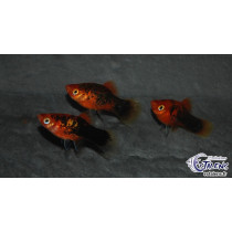 Platy Calico Rouge  3-3.5