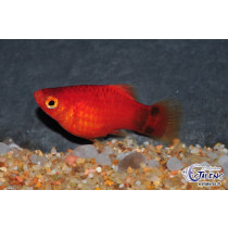 Platy Corail Mickey Rouge  2.5-3