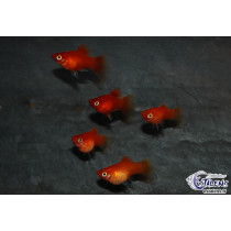 Platy Corail Rouge 2-2.5