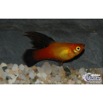Platy Voile Sunset Wagtail  3.5-4