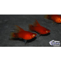 Platy Mickey Rouge  3.5-4