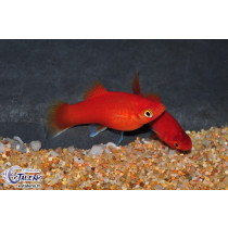 Platy Rouge  3-3.5